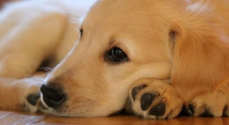 امرأة تفض عراكا بين كلبين لتنصدم بأن أحدهما أسد