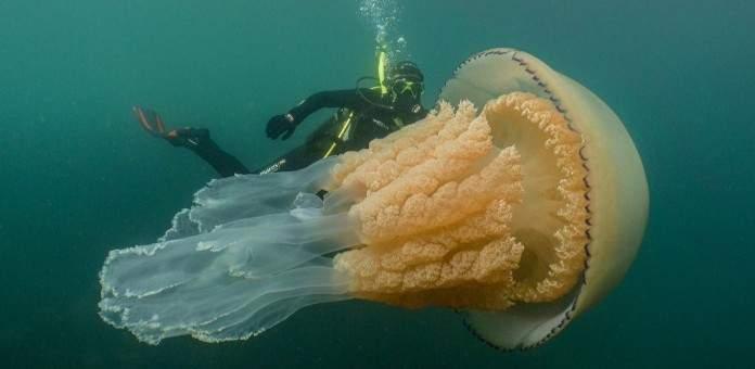 العثور على قنديل بحر بحجم إنسان
