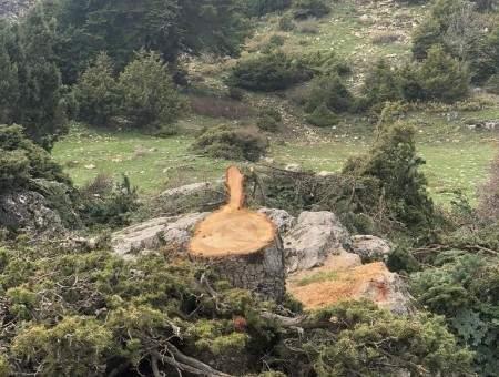 مجهولون قطعوا اشجارا معمرة في القموعة عكار