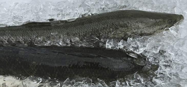 """سمكة مفترسة """"برمائية"""" تهدد ولاية جورجيا الأميركية"""
