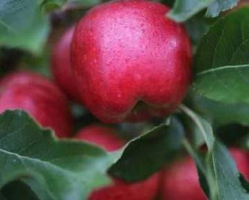 أغلى تفاحة في العالم