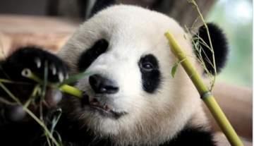 الجنس لمعالجة الباندا
