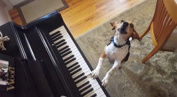 كلب موهوب يعزف على البيانو ويغني ..بالفيديو