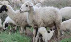 استراليا تعلق الترخيص الممنوح لإحدى الشركات لتصدير ماشية حية
