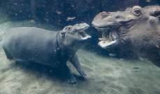 نصف مليون دولار أرباح حديقة حيوانات أميركية بفضل فرس نهر رضيع !!