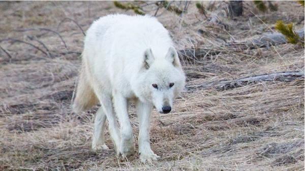 مكافأة 10 آلاف دولار للكشف عن قاتل الذئب الأبيض